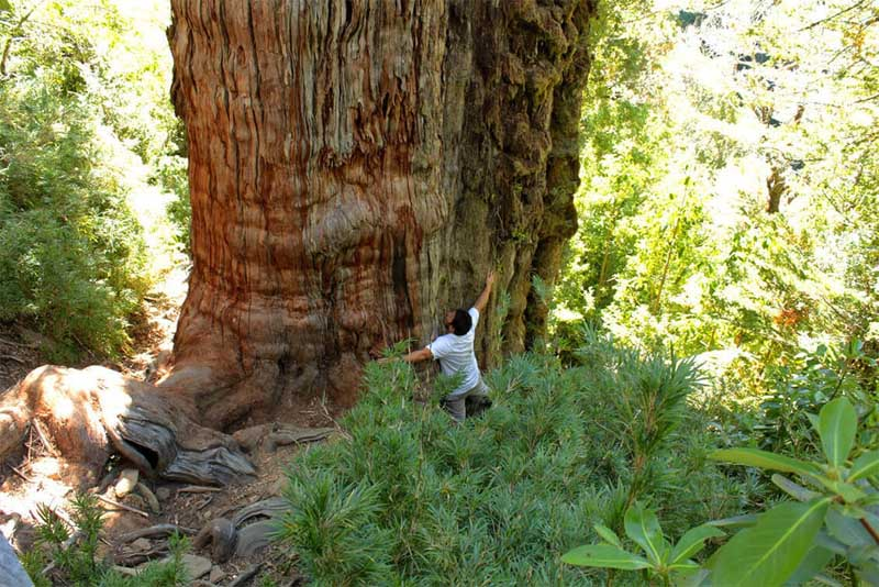 gran-abuelo-oldest-tree