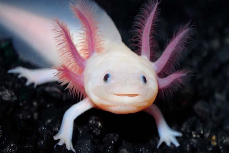 mexican-salamander-pink-animals