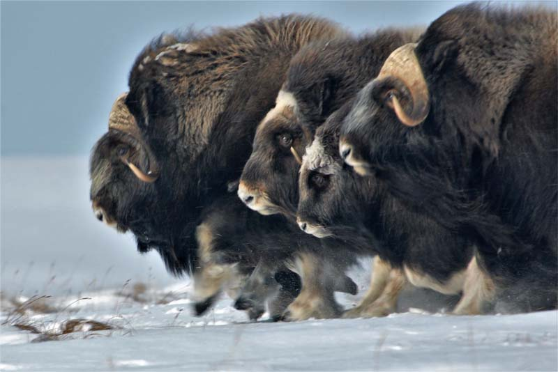 musk-ox-cold-weather-animals