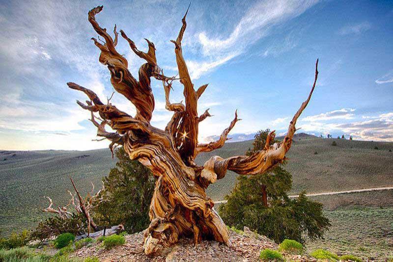 old-hara-oldest-tree