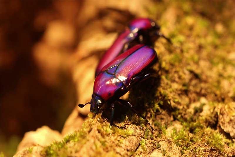 purple-beetles-purple-animals