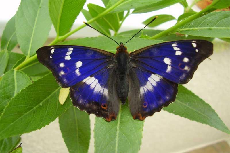 purple-emperor-butterflies-purple-animals