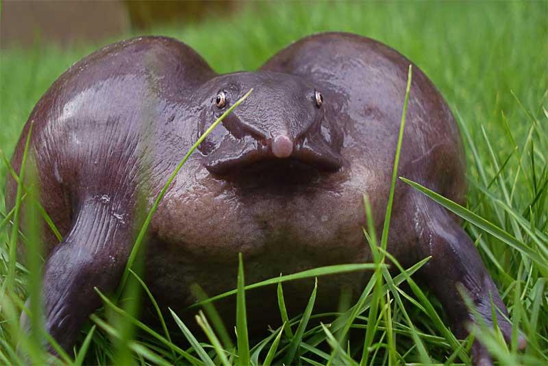 purple-indian-frog-purple-animals