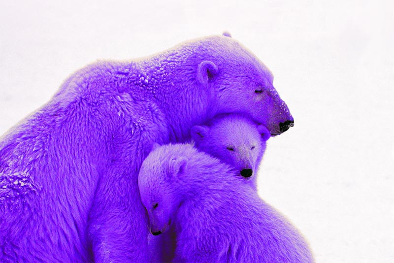 purple-polar-bear-purple-animals