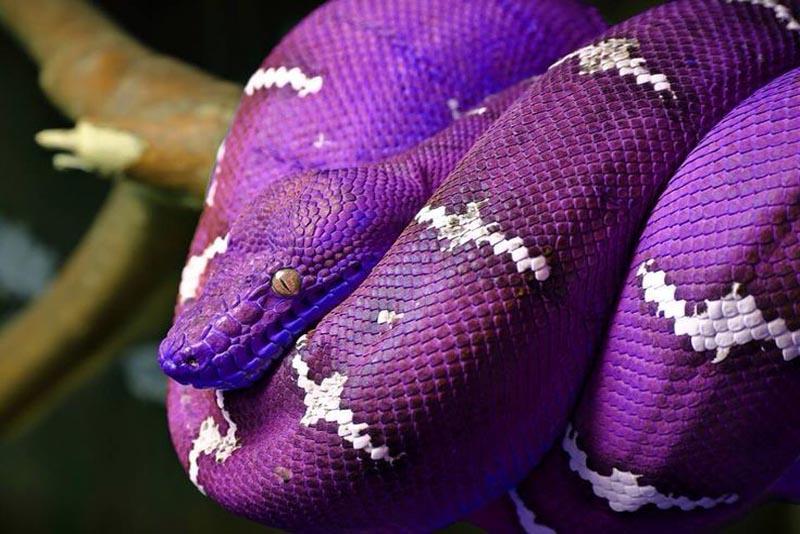 purple-snake-purple-animals