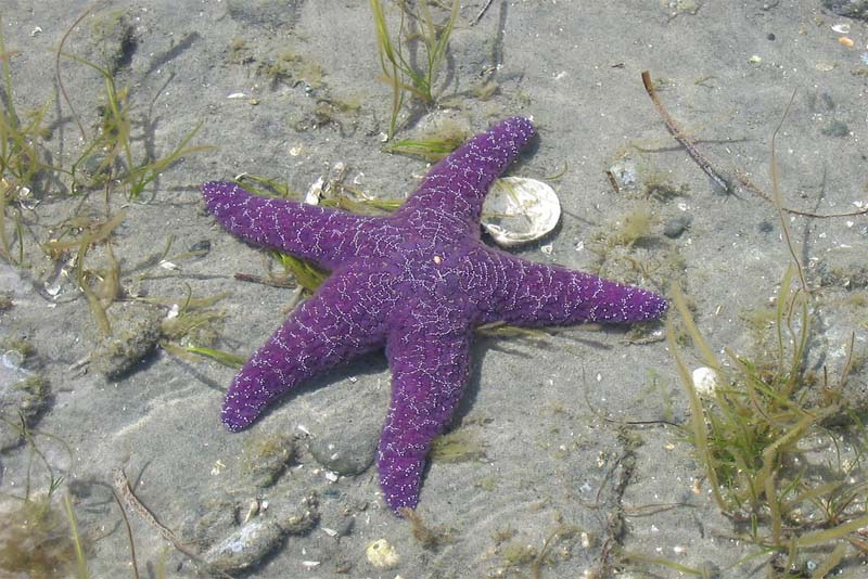purple-starfish-purple-animals