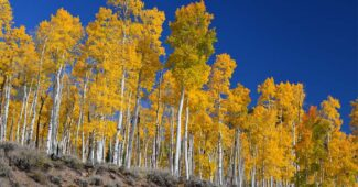 pando-oldest-tree