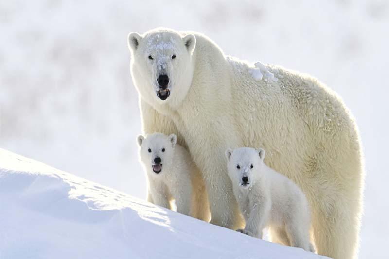 polar-bear-cold-weather-animals