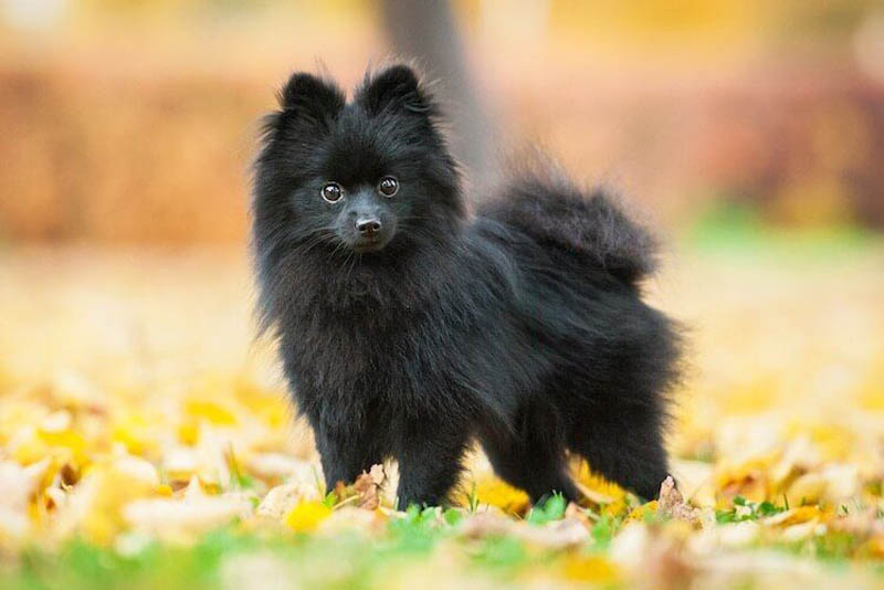 pomeranian-german-breed-dogs