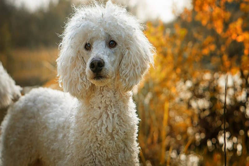 poodle-german-breed-dogs