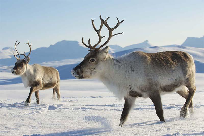 reindeer-cold-weather-animals