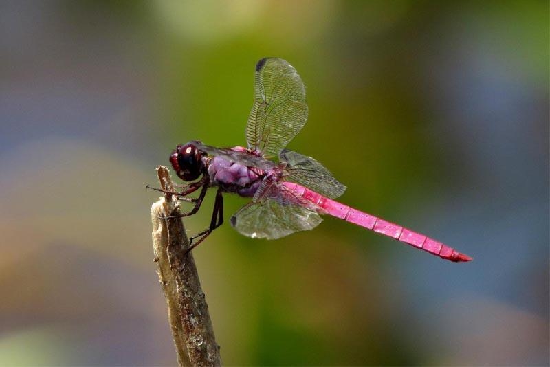roseate-skimmer-pink-animals