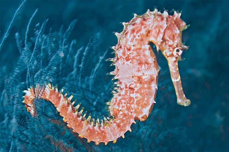 seahorse-pink-animals