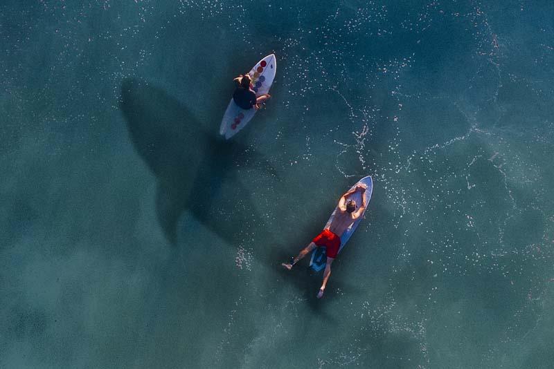 white-shark-apex-predators