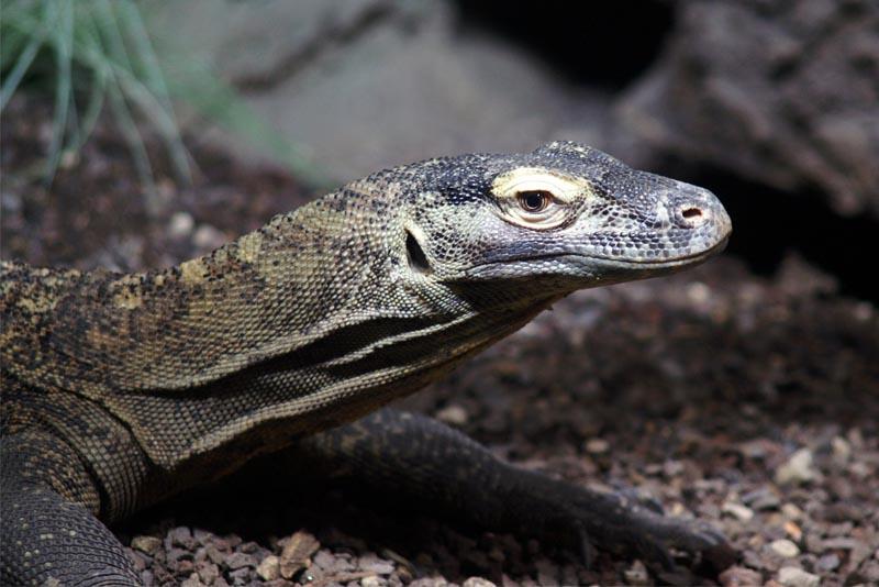 komodo-dragon-apex-predators