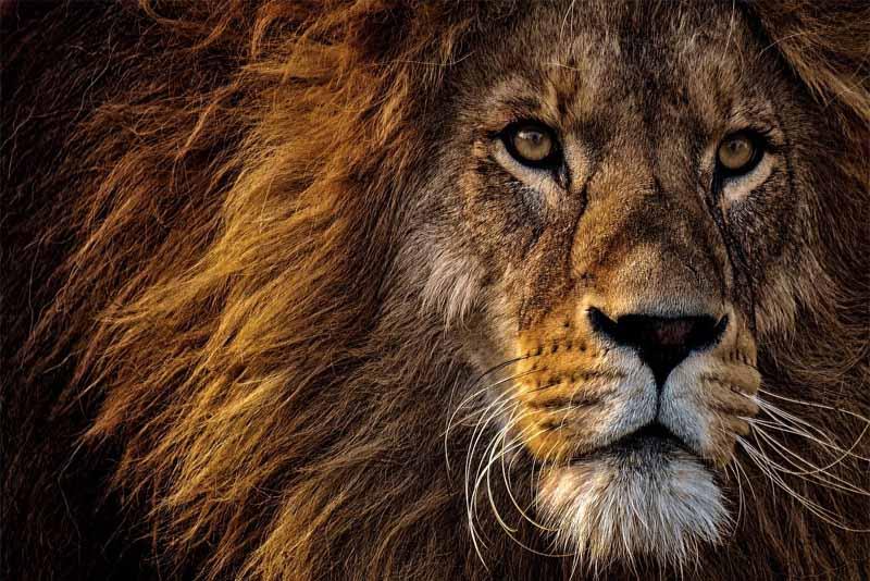lion-apex-predators