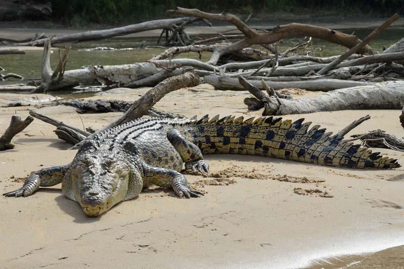 saltwater-crocodile-apex-predators