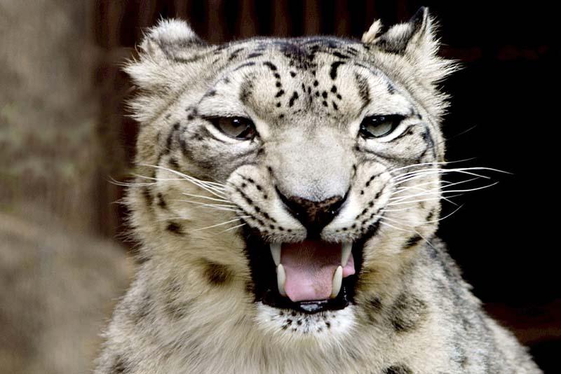 snow-leopard-apex-predators