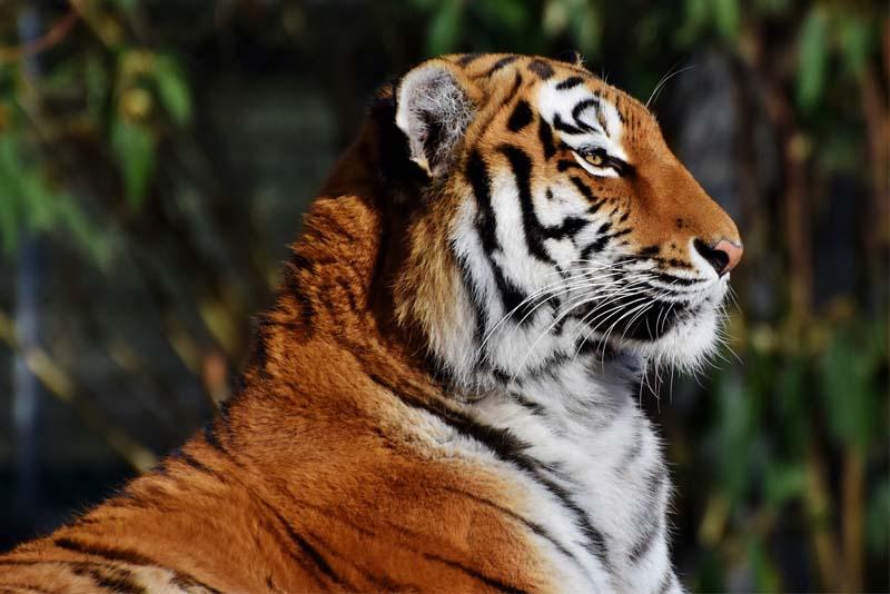 tiger-apex-predators