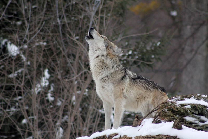 interesting-facts-about-wolf