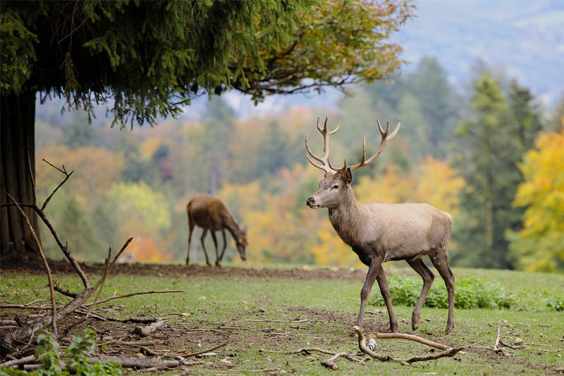 interesting-and-fun-facts-about-deer