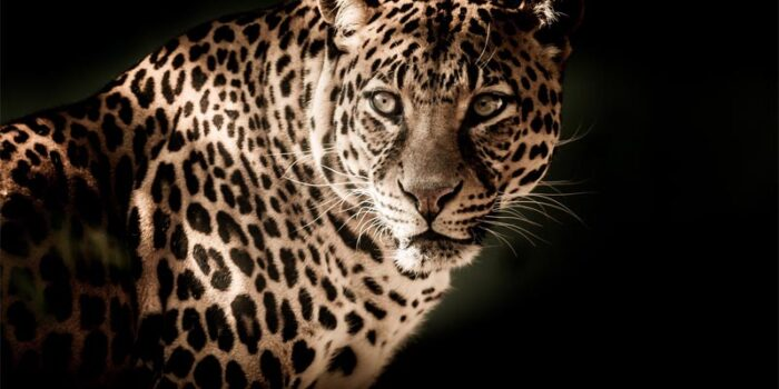 interesting-and-fun-facts-about-leopard