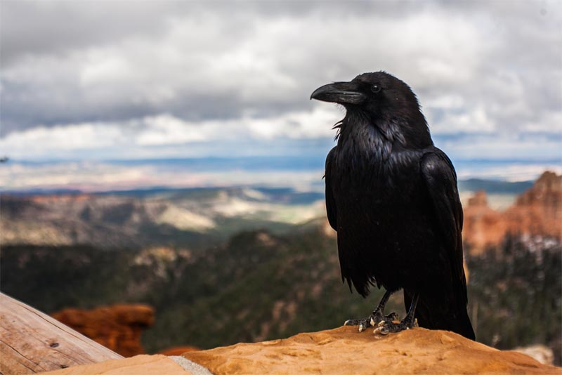 interesting-facts-about-crows