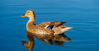 interesting-facts-about-duck