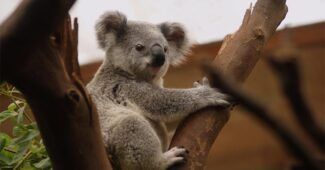 interesting-facts-about-koala