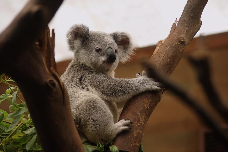 interesting-facts-about-koala