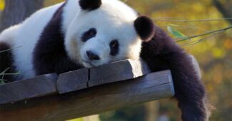 interesting-facts-about-panda