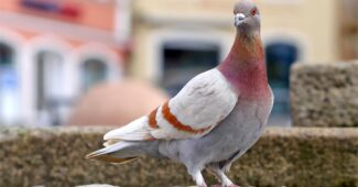 interesting-facts-about-pigeons