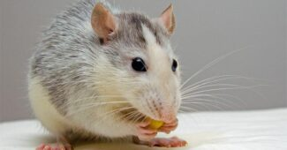 interesting-facts-about-rat