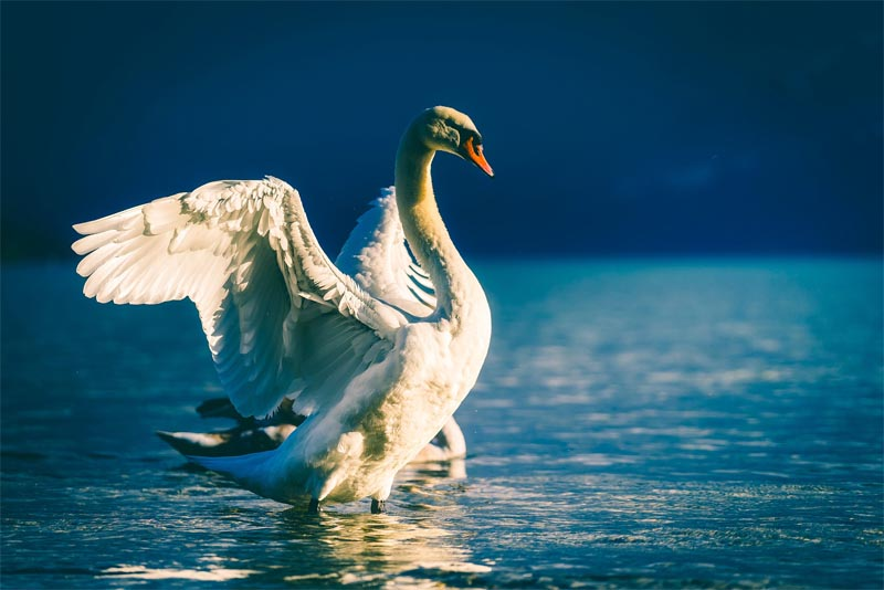 interesting-facts-about-swan