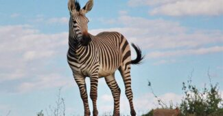 interesting-facts-about-zebra