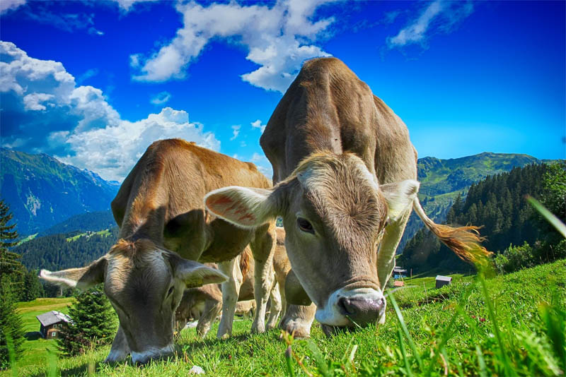top-10-interesting-facts-about-cow