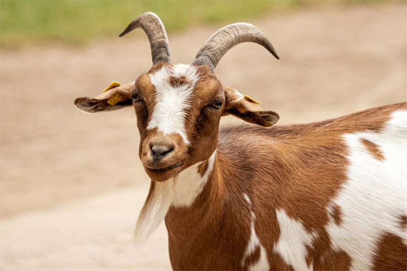 top-10-interesting-facts-about-goat
