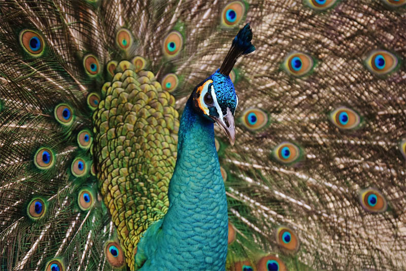 top-10-interesting-facts-about-peacock