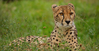 top-10-interesting-facts-about-cheetah