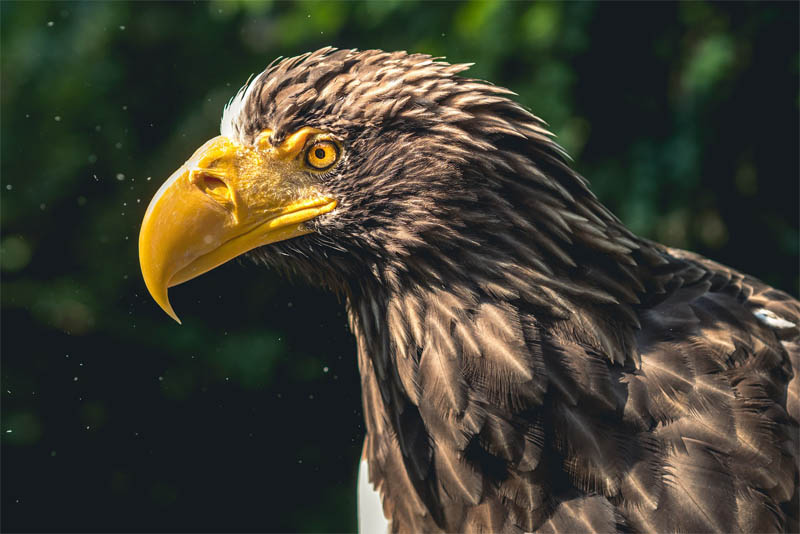 top-10-interesting-facts-about-eagles