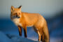 top-10-interesting-facts-about-fox