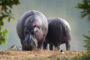 top-10-interesting-facts-about-hippopotamus