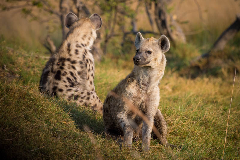 top-10-interesting-facts-about-hyena