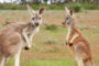 top-10-interesting-facts-about-kangaroos