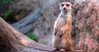 top-10-interesting-facts-about-meerkats