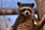 top-10-interesting-facts-about-raccoons