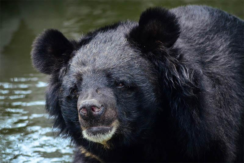 asian-bear
