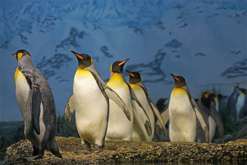 black-and-white-penguins-work-as-camouflage