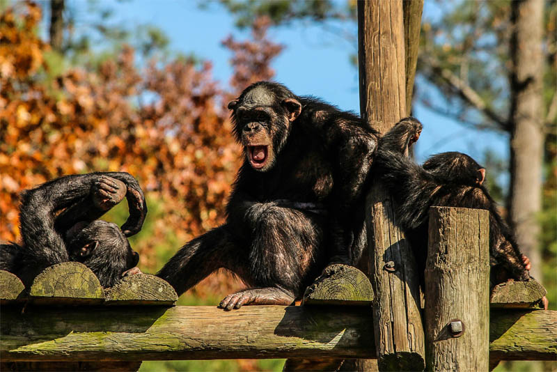 chimpanzees-are-almost-like-humans