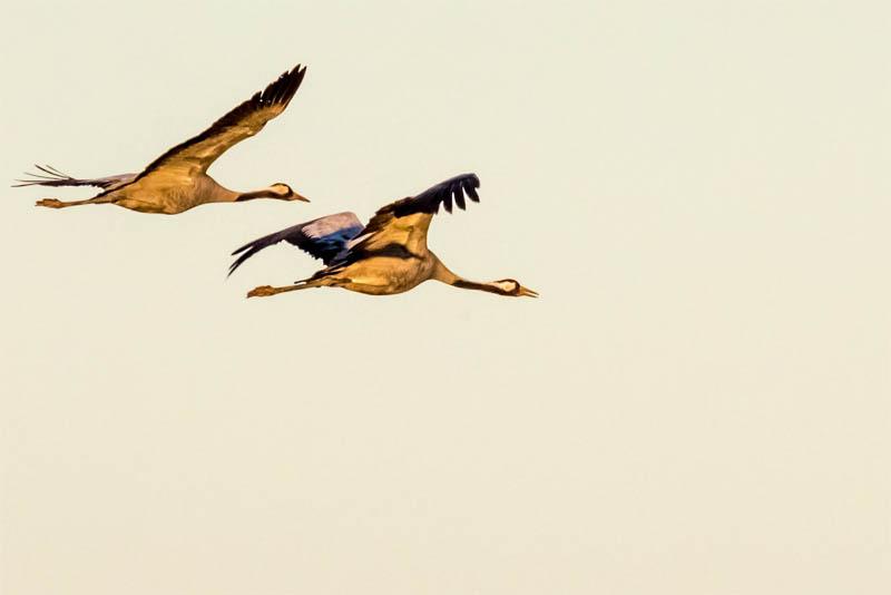 highest-flight-birds